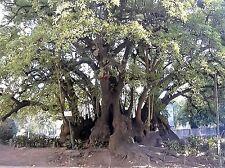5 ELEPHANT TREE Ombu Monkey Grape Umbra Phytolacca Dioica Red Berry Seeds