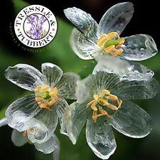 Skeleton Flower Rare perennial 10 seeds UK SELLER