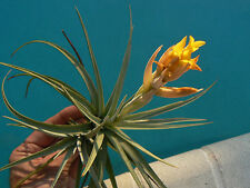Bromeliad Tillandsia ixioides in or near spike bud Exotic Tropical Air Plant