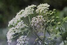 10 Samen gefleckter Schierling,Conium maculatum,giftig#643