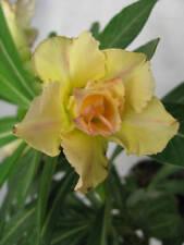 Desert rose Adenium obesum , 3 plants yellow flowers rare, & bonus gift seeds!
