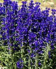 Lallemantia canescens 'Blue Snap' / Hardy perennial / 30 Seeds