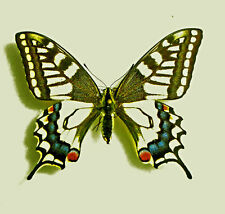 PAPILIO MACHAON ssp.SCHAPIROI  ***female Nr.2 ***Wladiwostock ,southern FAR EAST