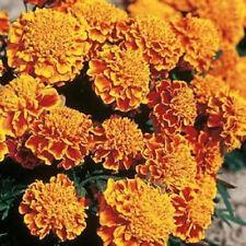 200 seeds Marigold Honeycomb detailed French Marigold Seeds Bulk Seeds