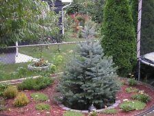 300 COLORADO BLUE SPRUCE TREE ** SEEDS **  EVERGREEN CHRISTMAS TREE GROWING