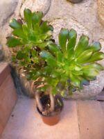 lot =pot  plante artichaut tortueuse  + plantes faciles reprise 0ff +verveine