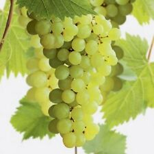 Large Green White Grape Vine Plant Superior Seedless 2L Pot Outdoor Soft Fruit