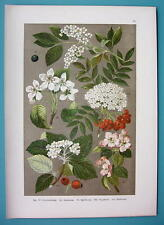 BOTANICAL PRINT 1896 Color Litho - Aplle Tree Flower Hagberry Pear Whitebeam
