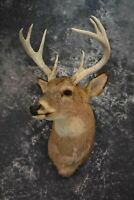 SKU 1537 Whitetail Deer Head Taxidermy Mount Vintage 8 Point WOW