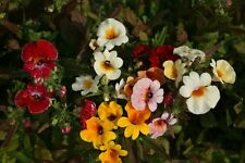 Nemesia Galaxy Bicolour Seed Annual Multi Colours Bedding Basket or Pot.
