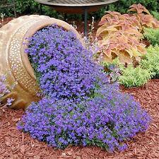 220 pcs Cascade Purple Aubrieta Flower Seeds Perennial Ground Cover Decor