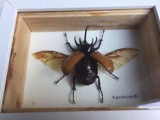 Eupatorus gracilicornis Scarabaeidae Fünfhornkäfer rhinoceros beetle Schaukasten