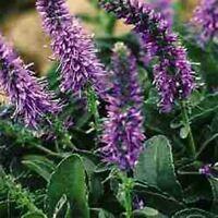 Veronica Spicata- 50 Seeds- BOGO 50% off SALE