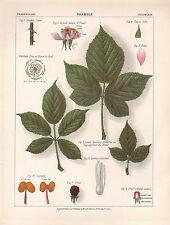 1883 VICTORIAN BOTANICAL PRINT ~ BRAMBLE ~ STEM LEAVES FLOWER FRUIT STAMENS