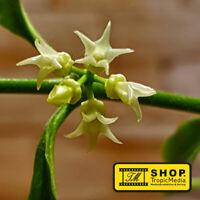 Hoya papaschonii - 10 Samen Ernte ENDE Oktober 2020 - Porzellanblume Wachsblume