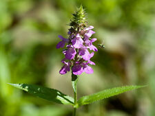 Stachys palustris (Marsh Hedge Nettle) 50 seeds