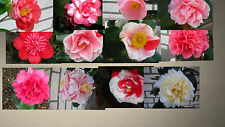 Kamelie Kamelien Camellia 20 Samen ideal für Bonsai