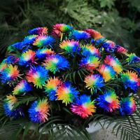 Rainbow Chrysanthemum Flower 100Pcs/Bag Seeds Daisy Rare Home Yard Garden Plants