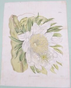 CURTIS 1817 HAND COLORED TRIANGULAR CREEPING CERUS NIGHT BLOOMING ONE NIGHT