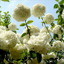 HOT Beautiful 20 PCS Hydrangea flower seeds Mixed 4 colors, Beauty Easy Growing