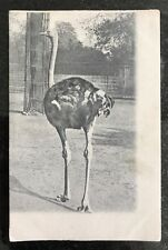 Ostrich Postcard early 1900's Unposted
