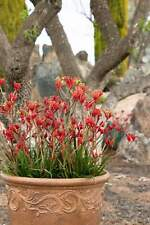 Anigozanthos Kanga Red - 1 Plant - 1 Feet Tall - Ship in 1 gal Pot