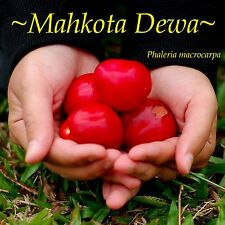 ~Mahkota Dewa~ God's Crown Tropical Fruit Tree Phaleria macrocarpa Sm Potd Plant
