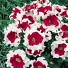 Petunia Seeds Frost Fire Petunia Seeds 50 Pelleted Seeds