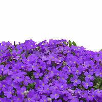 Cascade Purple Aubrieta Flower Seeds Perennial Ground Cover Romantic 220pcs TR