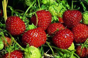 Erdbeerpflanzen Mieze Schindler 10 Pflanzen im Topf