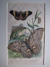 1836-1839 GUERIN-MENEVILLE, MORPHO MOTHS, PLATE 390 - MATTED
