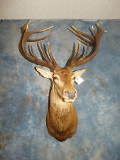Super Awesome 16 point Red Stag Mount/Antlers/Racks/Sheds /Skull/Taxidermy/Decor