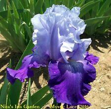 "1 ""Mystic Lace"" Lovely Tall Bearded Iris Rhizome"