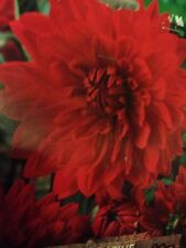 Dahlia Full Sun Bulbs, Corms, Roots & Rhizomes