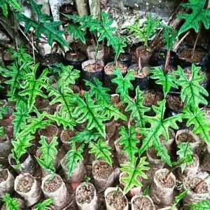 7 plants Alocasia Jacklyn Whosalee + Phytosanitary