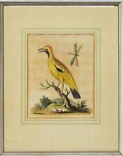 George Edwards Kupferstich 18. Jh.  handkoloriert Büttenp. Vogel Libelle 45x36cm
