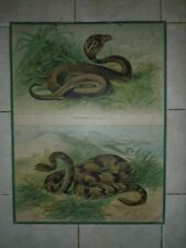 zoological pull down school chart Cobra and rattlesnake litograph