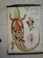 Original vintage zoological pull down school chart anatomy of lizard ,Gecko