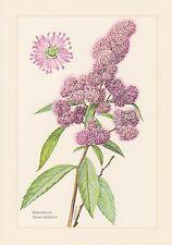 Spierstrauch-Spiraea salicifolia impresión en color de 1960 inglesas