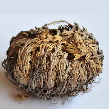 Live Resurrection Rose of Jericho Plant Dinosaur (1) Spike Moss Air Fern Dormant