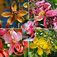 Cassia • 58 Samen/seeds•roxburghii • javanica • brewsteri • corymbosa • grandis