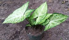 Variegated Syngonium Podophyllum Albovirens Arrowhead Vine Rooted Plant
