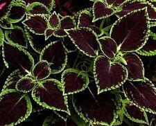 KONG SCARLET BLACK Coleus Shade Large Leaves Colorful 10 Seeds