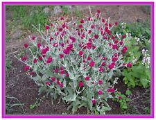 Graines de fleurs vivaces, LYCHNIS CORONARIA Coquelourde
