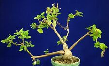 PLECTRANTHUS ERNSTII Bonsai Mint  = cacti 仙人掌 กระบองเพชร kakteen #4900