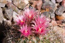 Escobaria organensis Hardy Ball Cactus Seeds!