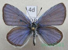 Cupido decolorata (Staudinger, 1886) male Czech4d