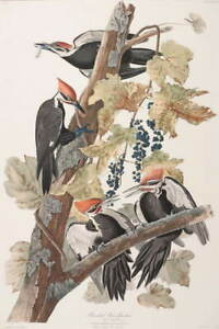 John James Audubon Pileated Woodpecker Poster Reproduction Giclee Canvas Print