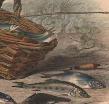 1839 Gravure originale truite épinoche goujon ablette pêche poissons