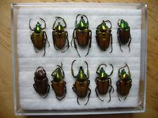 Phaedimus mohnikei (Cetoniidae)
